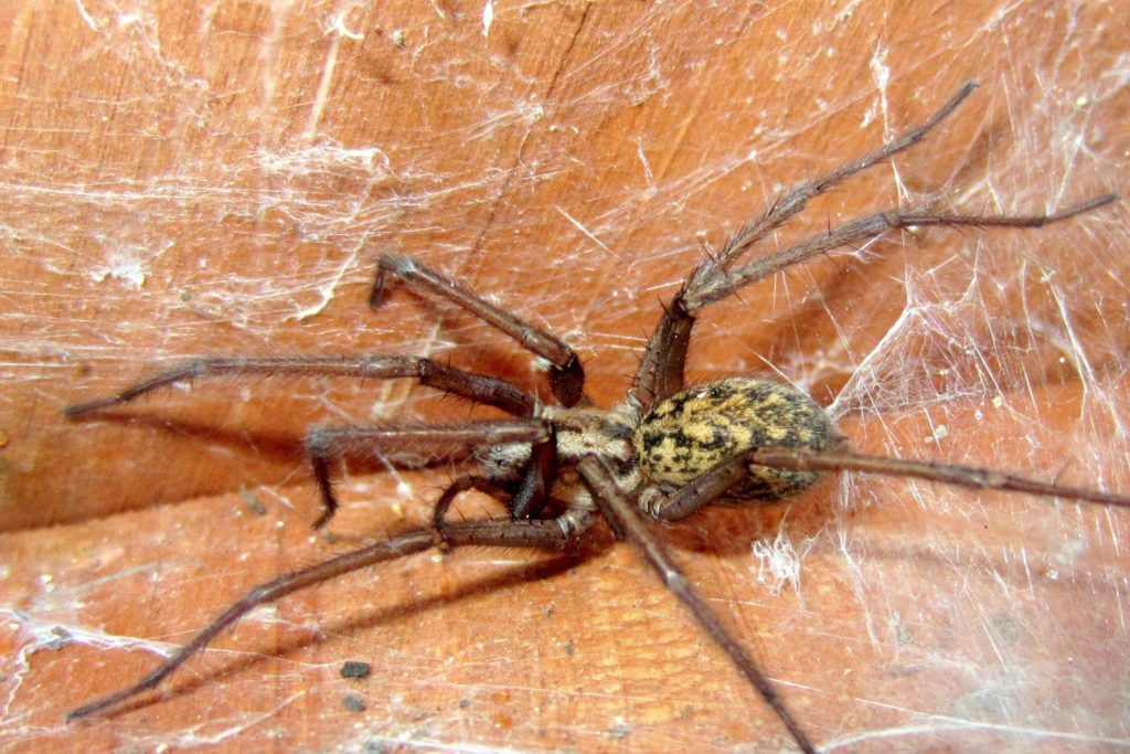 Spider picture from home in Spokane, Washington.